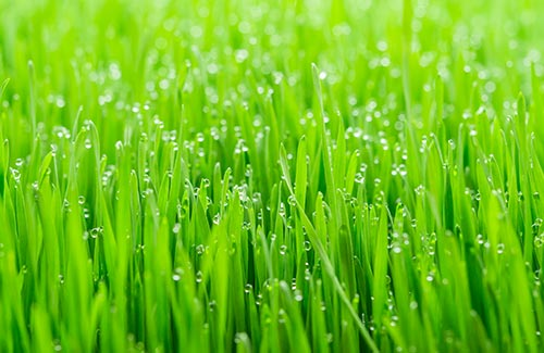 USDA certified organic wheatgrass juice wheat grass benefits